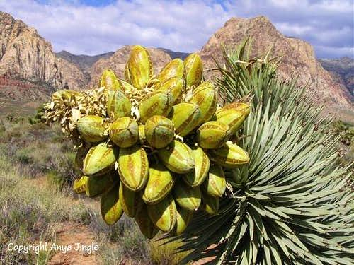 Fruits of Joshua Tree