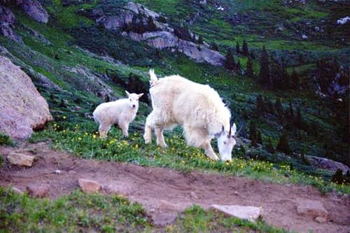 A mountain goat and her kid...