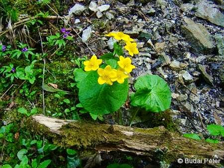 <b>Yellow Marsh Marigolds</b> - <i>Caltha palustris</i>