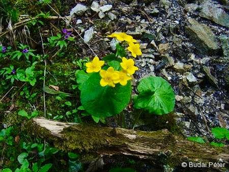 <b>Yellow Marsh Marigolds</b> - <i>Caltha palustris</i>