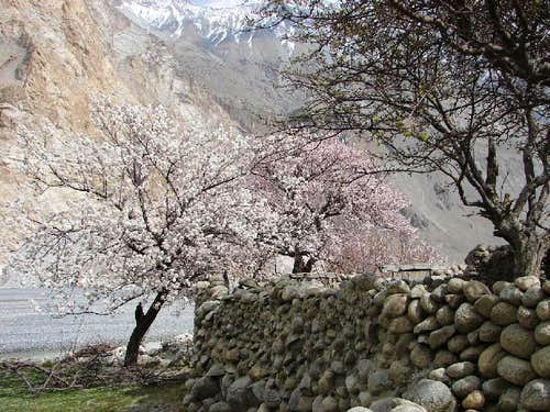 Blossom in Hunza and Baltistan