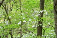 Dogwoods in Bloom on the Ozark Trail