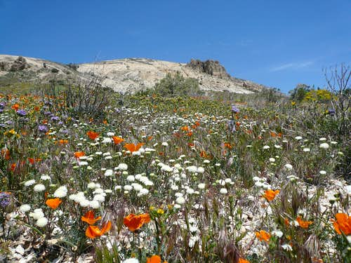Cross Mtn wildflowers