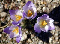 Crocus carpetanus on Cuerda Larga