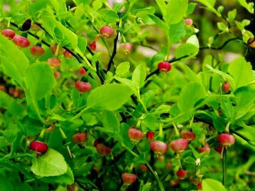 Blooming Bilberry