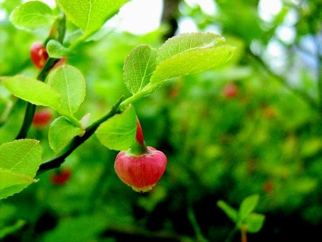 Flower of Bilberry