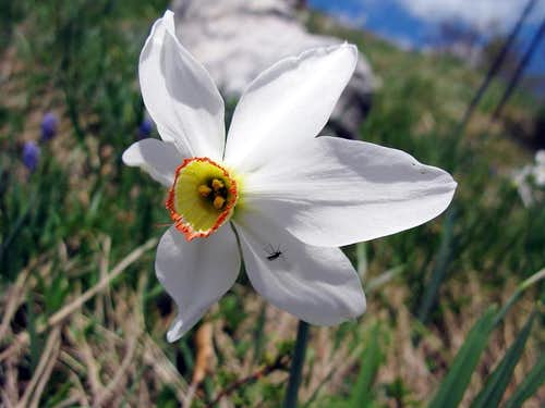 Narcis flower