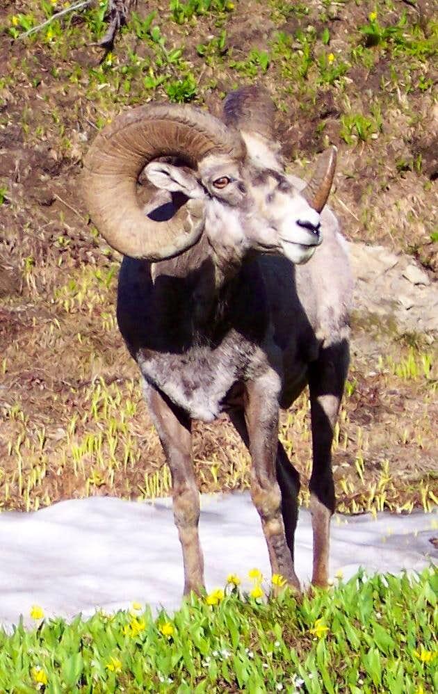 Glacier Bighorn Sheep