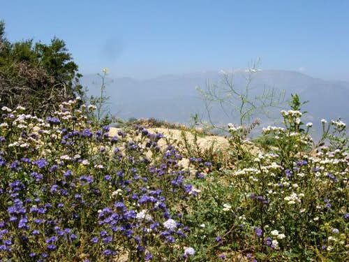 San Gorgonio and Phacelia