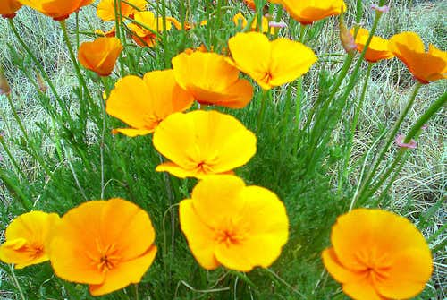<i>MORE eye-popping poppies</i>