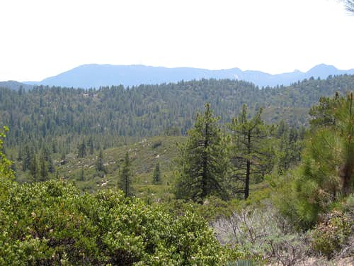 Pine Forest Below Mt. Mooney