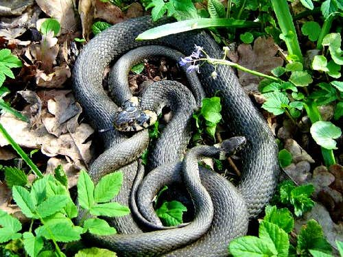 Grass Snake Couple