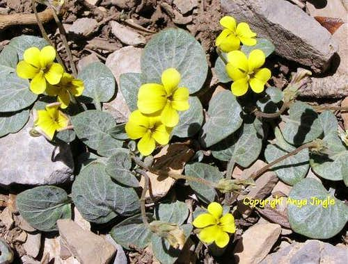 Charleston Mountain Violets