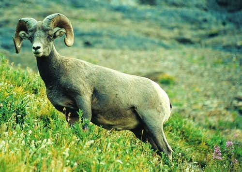 Bighorn Sheep Beneath the Garden Wall