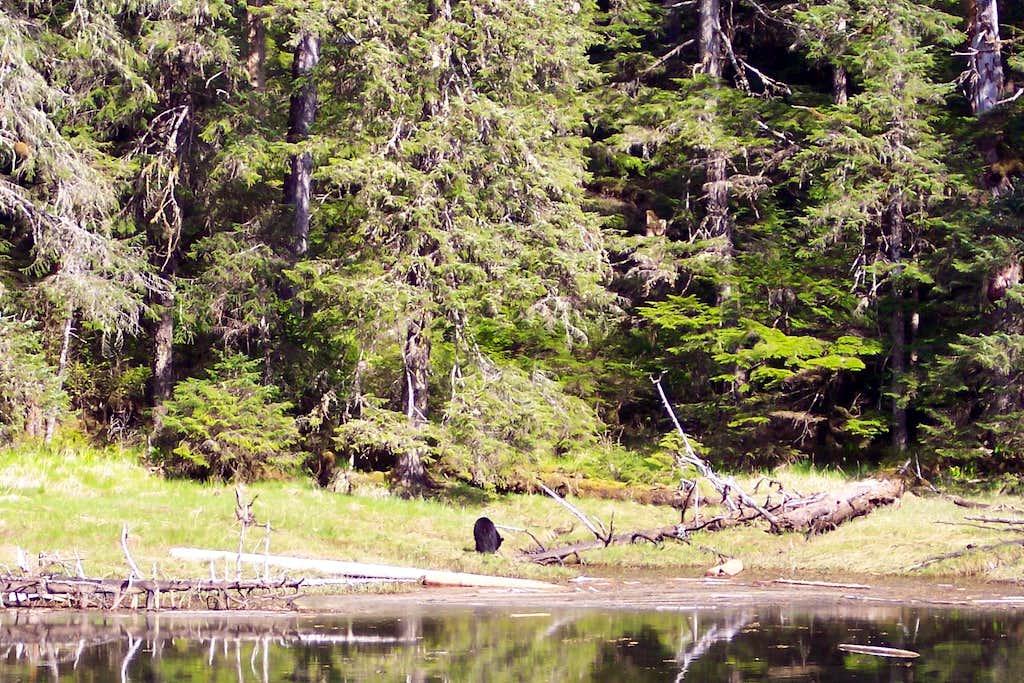 Black Bear Feeding At Waters Edge