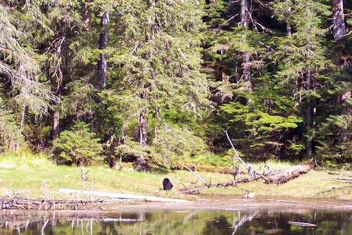 Black Bear Feeding At Waters Edge