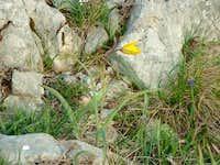 Wild tulip (Tulipa...