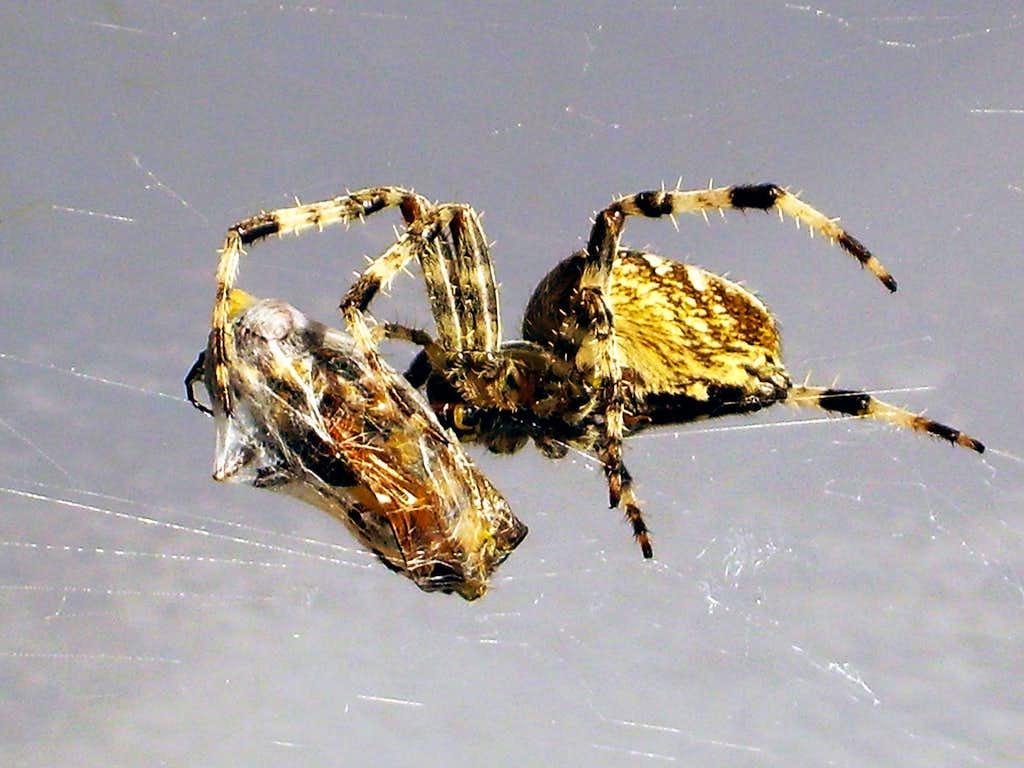 Garden Spider - Webster In Action