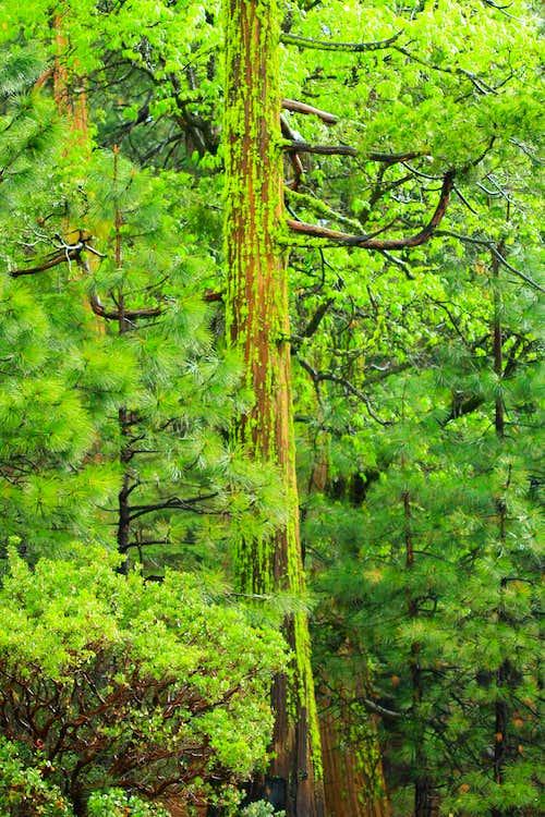 Mossy Sequoia