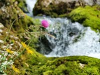 Flora at Izvir Soce