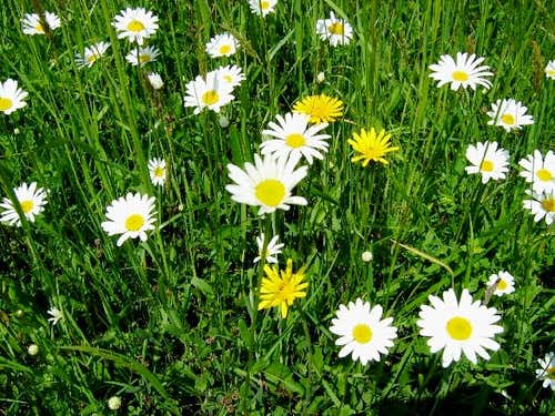 Oxeye Daisies and Cat\'s Ears