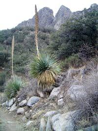 Baylor Pass Yuccas