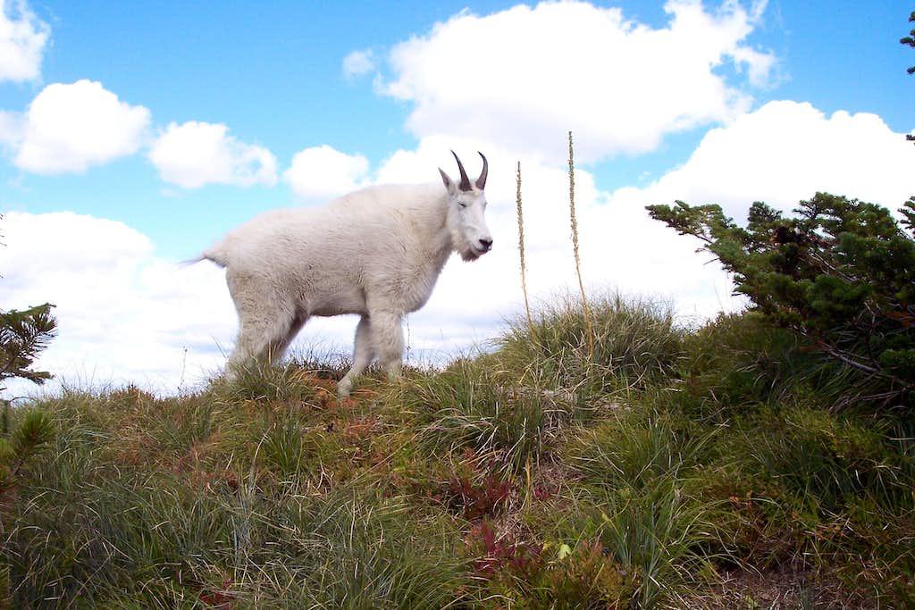 Aeneas Goat