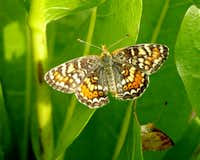 Checkerspot Butterflies