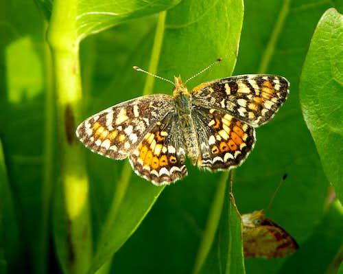 Checkerspot Butterflies