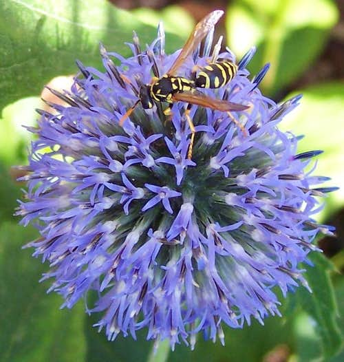 Yellow Jacket on Globe Thistle