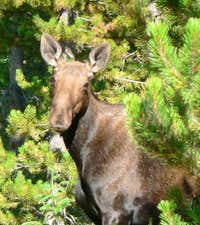 Same Moose different View