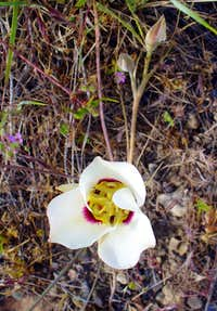Sego Lily flower and buds