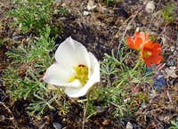 Sego Lily and Coppermallow