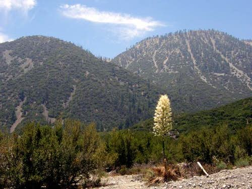 Yucca in Lytle Creek Canyon