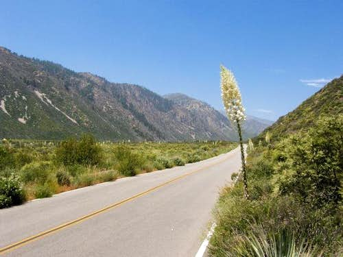 Yucca along Lytle Creek Road
