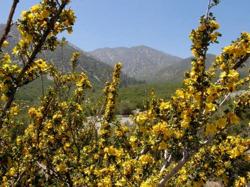 Fremontia in Lytle Creek