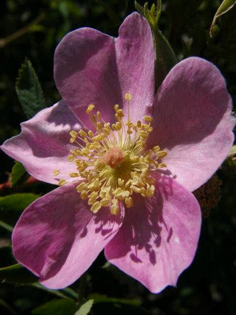 Lytle Creek Rose