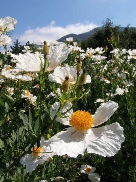 Matilija Poppies
