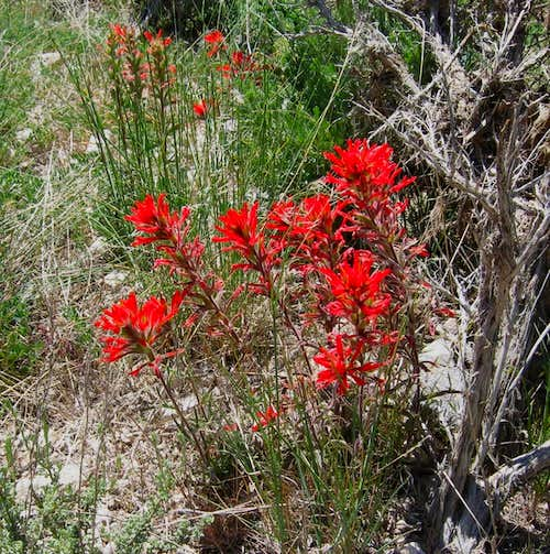Indian Paintbrush on the road in