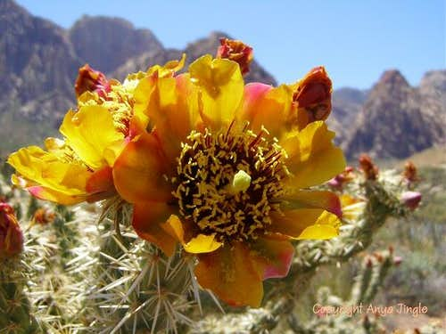 Buckhorn Cholla Bloom