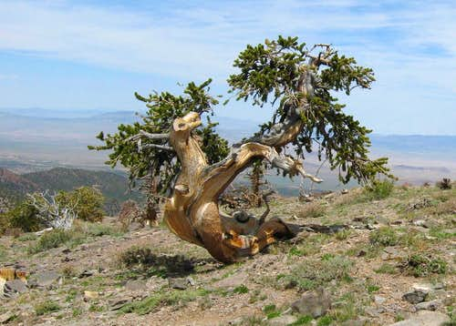Bristlecone near TH