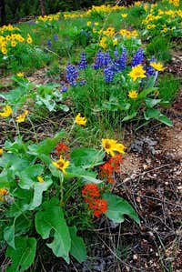 Arrowleaf, Lupin, and Paintbrush