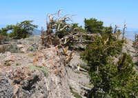 Wind affected bristlecone