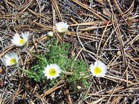 Erigeron flagellaris or Trailing Daisy on Sundance Mountain Summit
