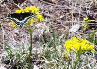 Papilio polyxenes or Black Swallowtail on Sundance Mountain B