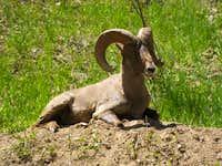 Goat in Waterton Canyon