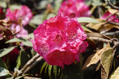 Rhododendron in Nepal