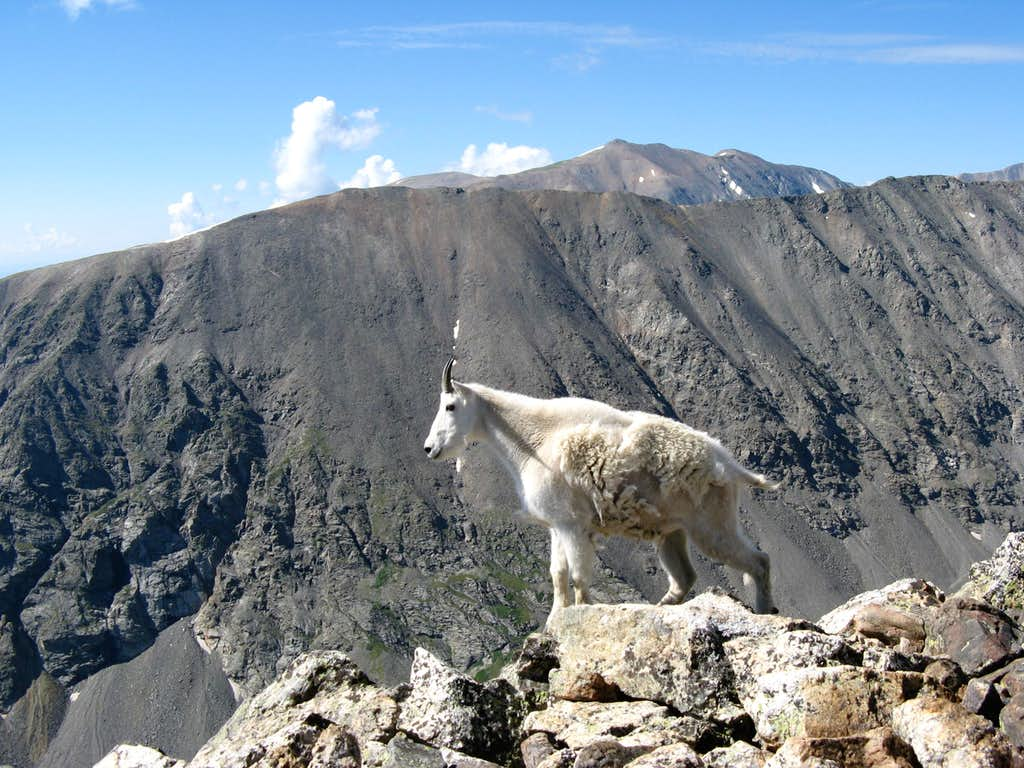 Mountain Goat on Quandary Peak