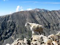 Mountain Goat on Quandary Peak