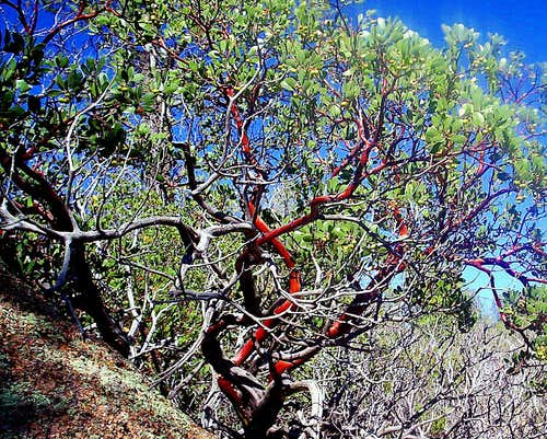 <i>Pointleaf Manzanita of AZ</i>